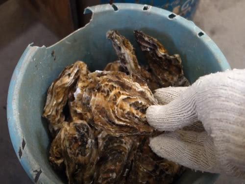 牡蠣がいっぱい入ったバケツ